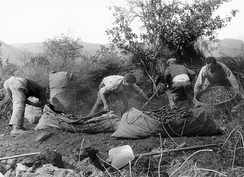 Zafferana Etnea, Coal pickers, 1963